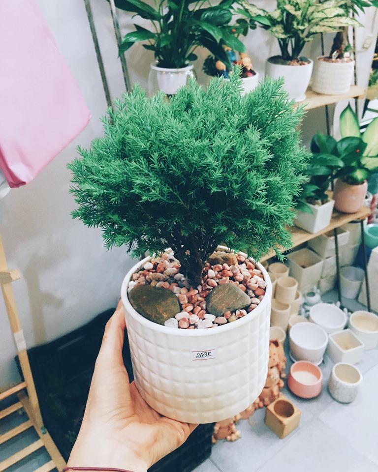 cây tùng để bàn