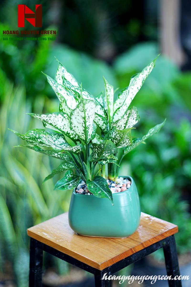 Cách trồng và chăm sóc cây kim ngân