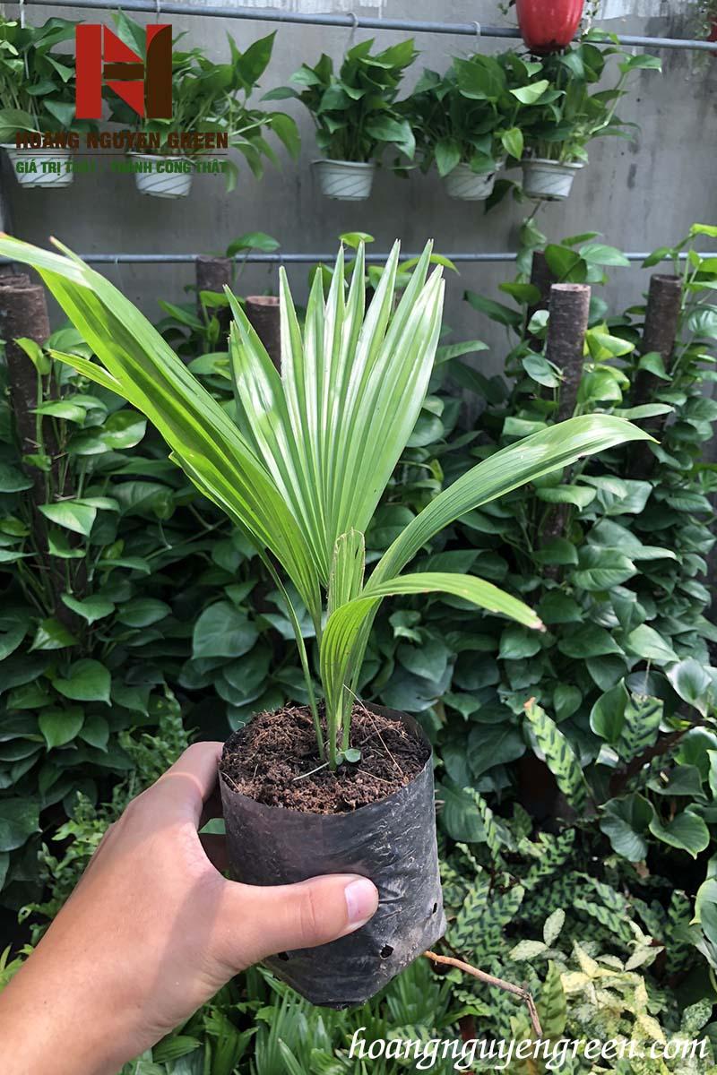 cách trồng và chăm sóc cây cọ ta