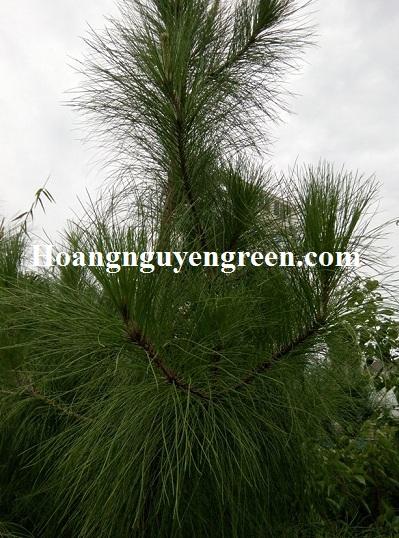 Giá cây thông caribe