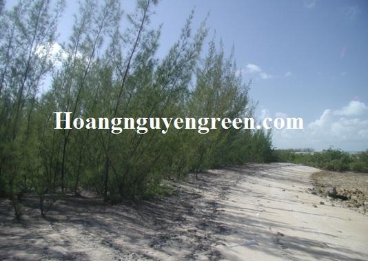 Hàng cây phi lao chắn cát