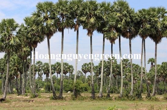 Hàng cây thốt nốt công trình