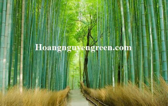 Hàng cây tre xanh thơ mộng