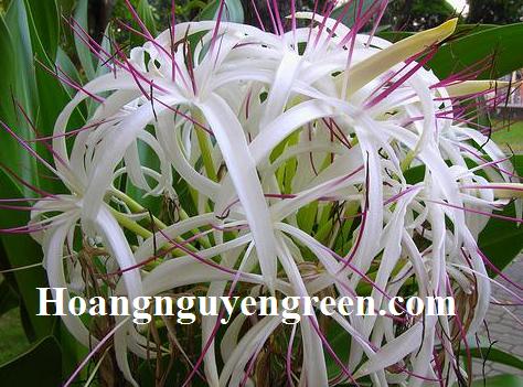 Hoa cây địa tướng quân hoa trắng