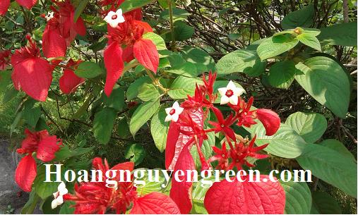 Hoa cây bướm đỏ