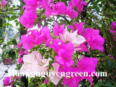 Hoa cây bông giấy