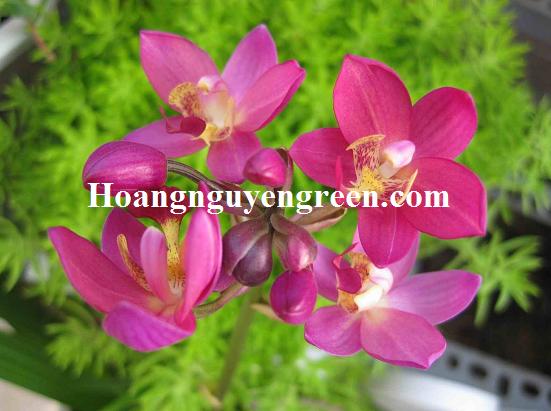 Hoa cây chu đinh lan