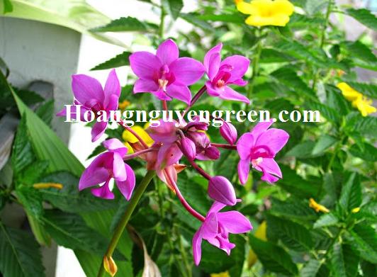 Hoa cây chu đinh lan đẹp