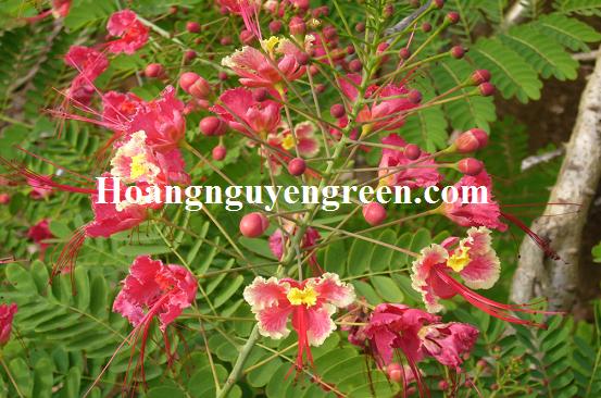 Hoa cây kim phượng màu hồng