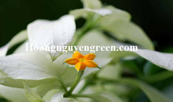 Hoa cây ngọc mai đẹp rẻ