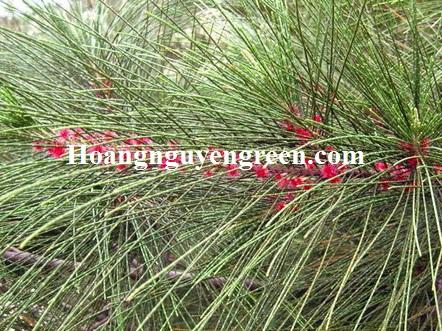 Hoa cây phi lao