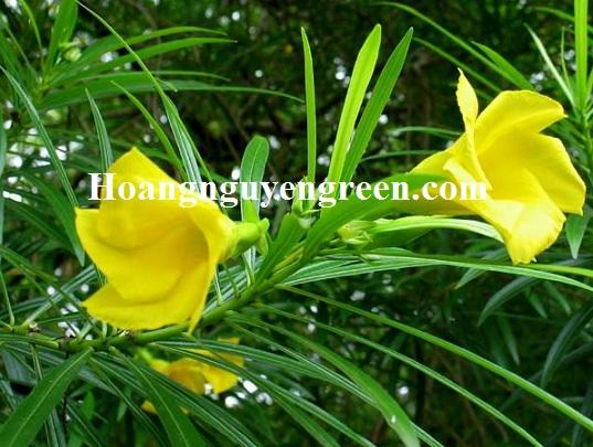Thời gian ra hoa cây thông thiên