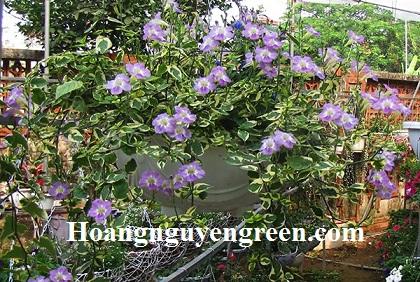 Hoa cây Cẩm Thạch