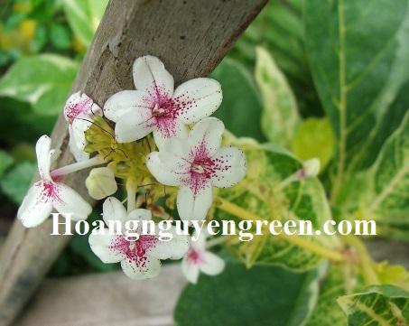 hoa cây ô gô gân vàng