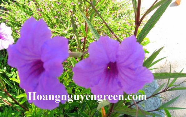 Hoa cây chiều tím