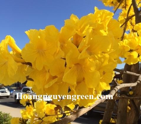 hoa cây chuông vàng