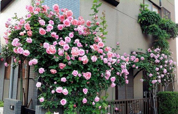 Hoa hồng trồng ban công