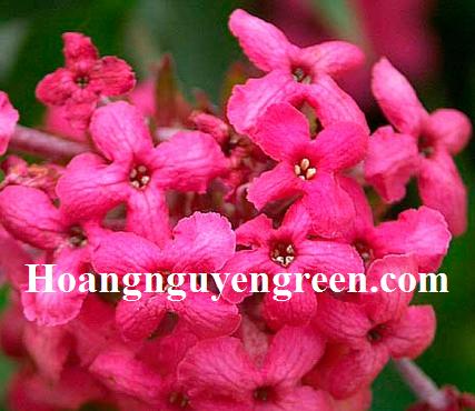Hoa liễu hồng