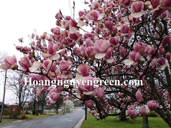Chăm sóc cây hoa mộc lan