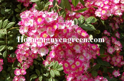 Hoa tường vy trắng hồng