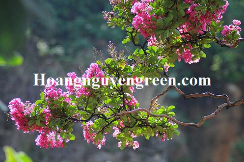 Chăm sóc cây hoa tường vy