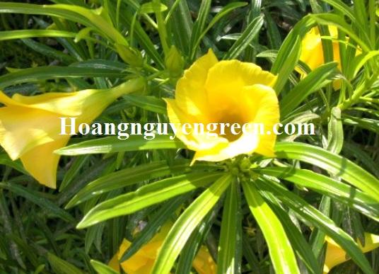 Hoa cây thông thiên