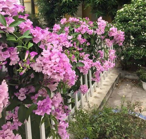 cây hoa tỏi tím leo giàn