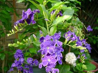Hoa cây chuỗi ngọc