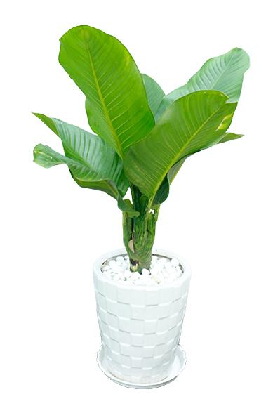 cây đại phú gia
