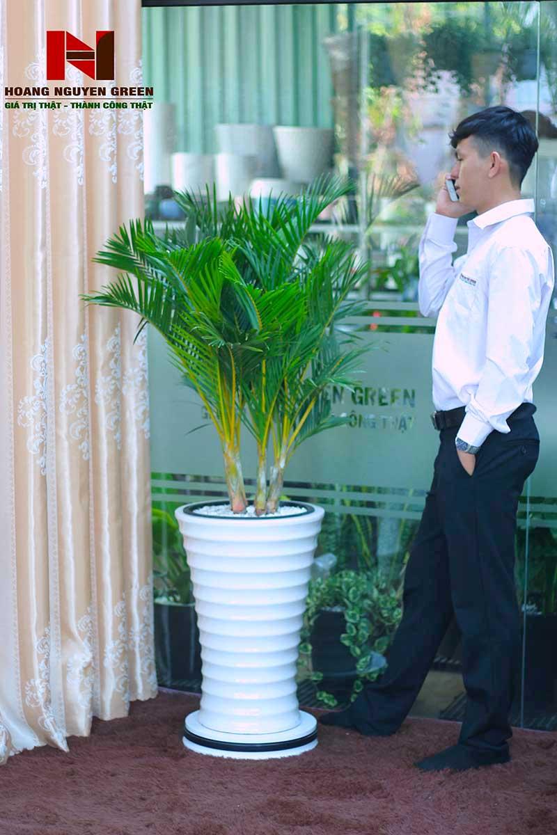 cây cau nhật chậu sứ