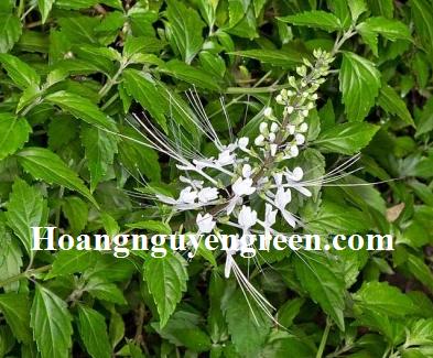 Cây hoa râu mèo trồng viền