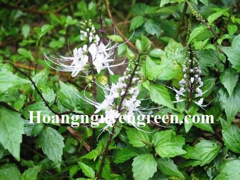 Chăm sóc cây hoa râu mèo