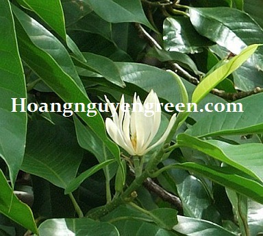 Cây ngọc lan trắng