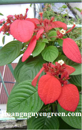 Lá cây bướm đỏ