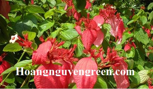 Cây bướm đỏ trồng viền