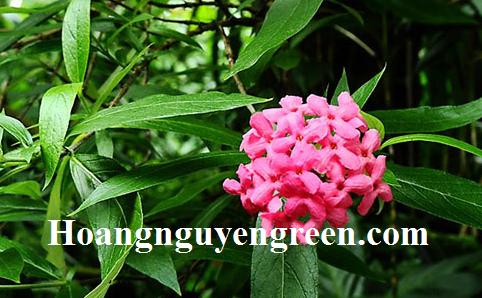 Bán cây hoa liễu hồng