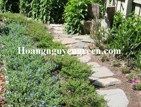 Cây thanh tú trồng thảm đẹp