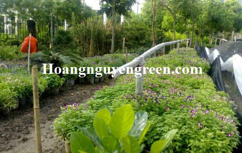 Vườn ươm cây tố liên