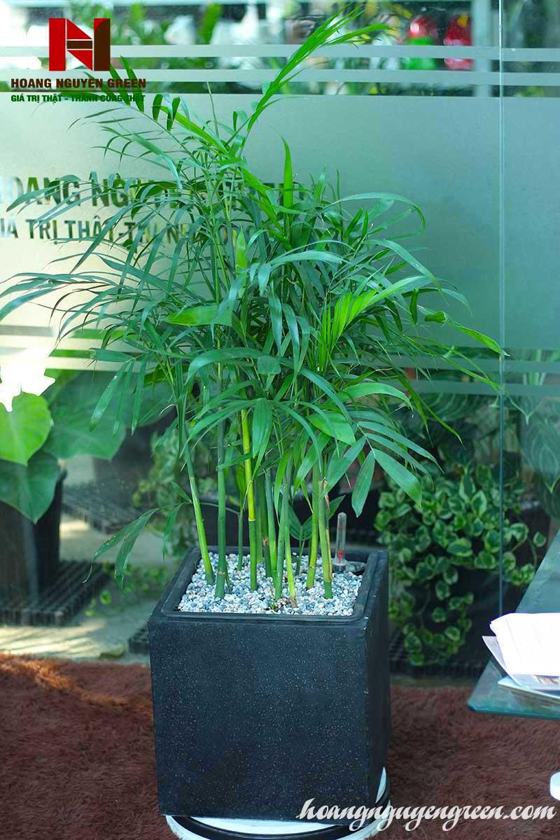 Cây Cau Hawai Chậu Đá Mài  32 x 32 Vuông Đen
