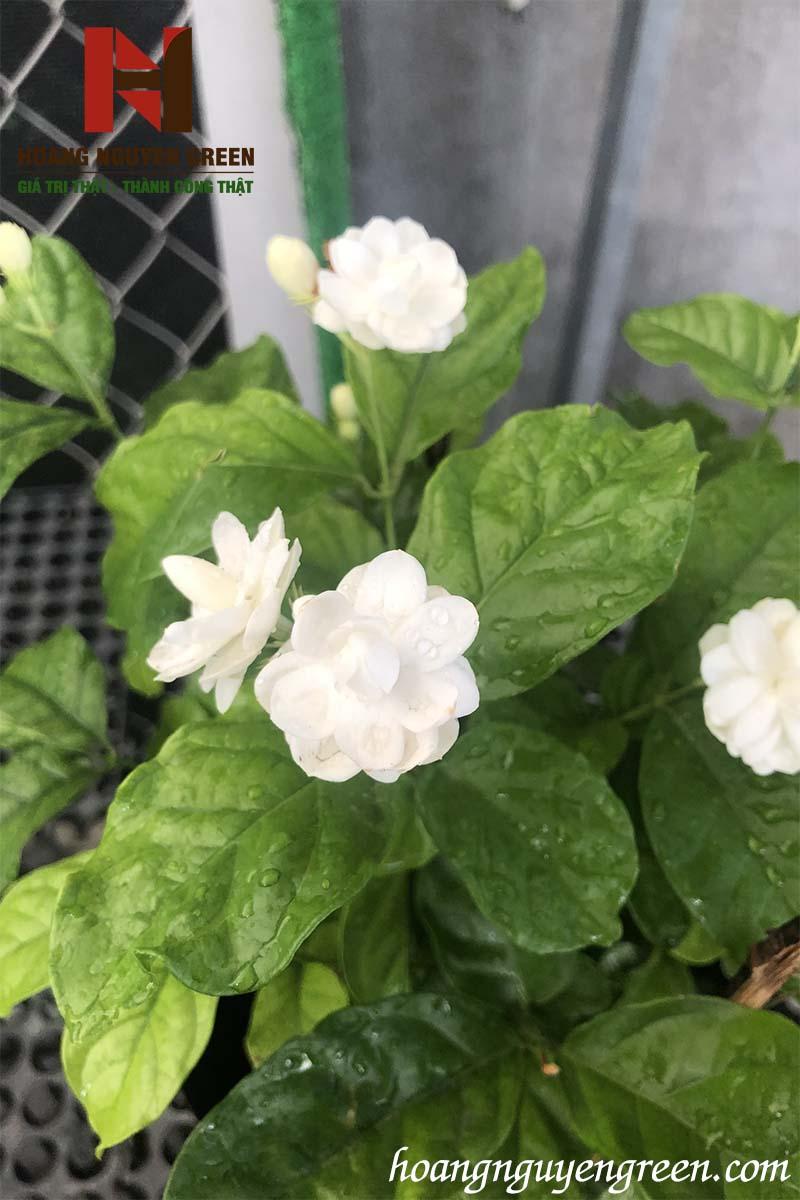 Cây Hoa Lài Ta
