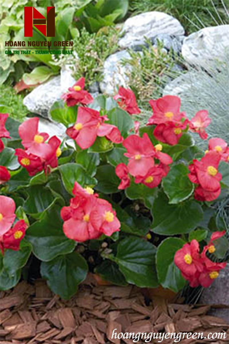 cây bông nho đỏ