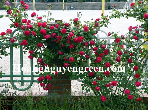 Cây Hoa Hồng