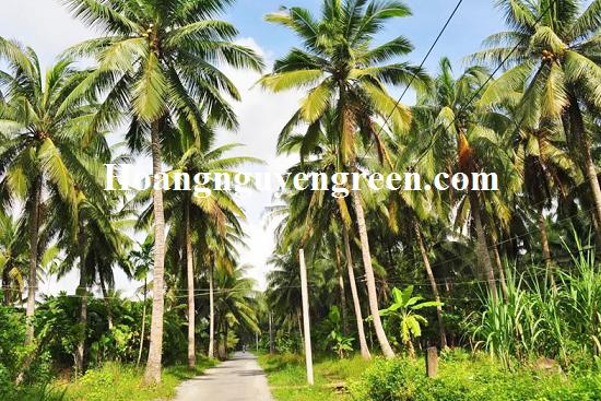 Cây Dừa - Cây Bóng Mát