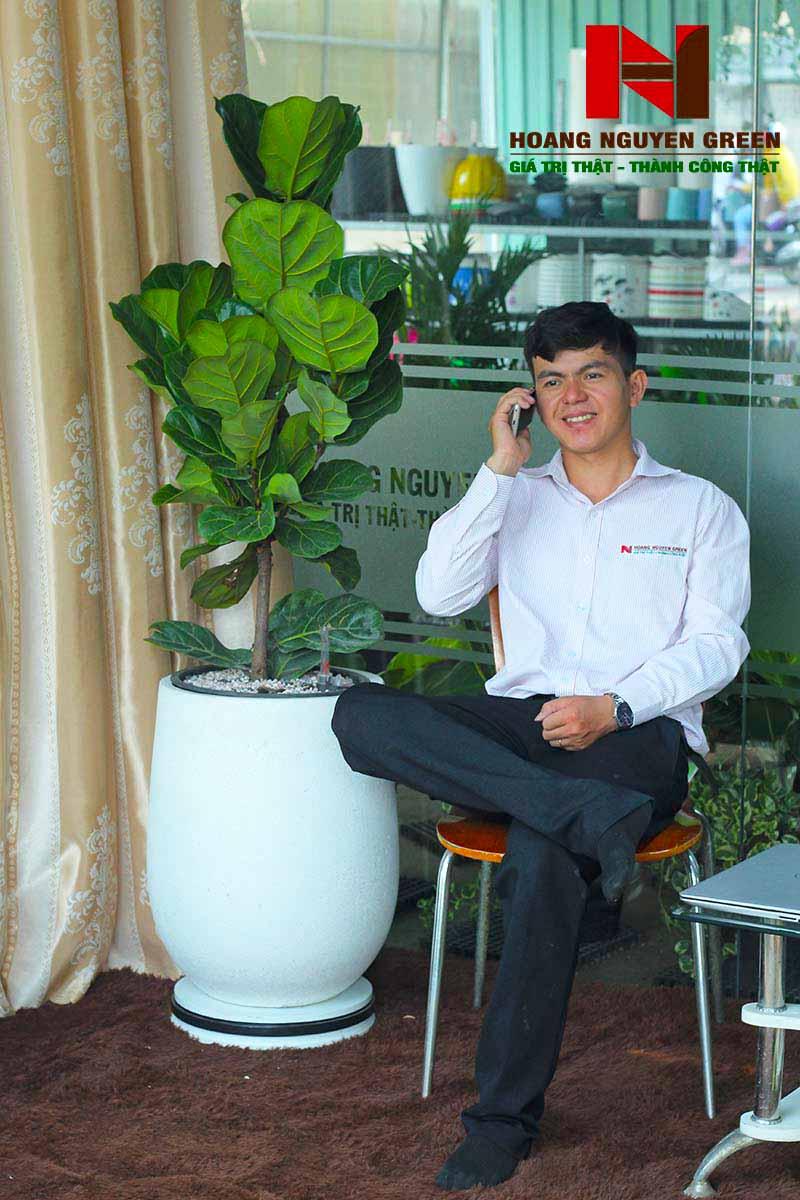 Cây Bàng Singapore Chậu Đá Mài Giọt Nước Trắng