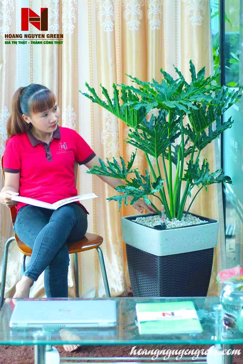 Cây Trầu Bà Thanh Xuân Chậu Cát Đan Vuông Nâu