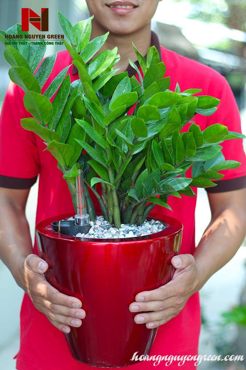 Cây Kim Tiền Chậu Sơn Tròn Bầu Đỏ