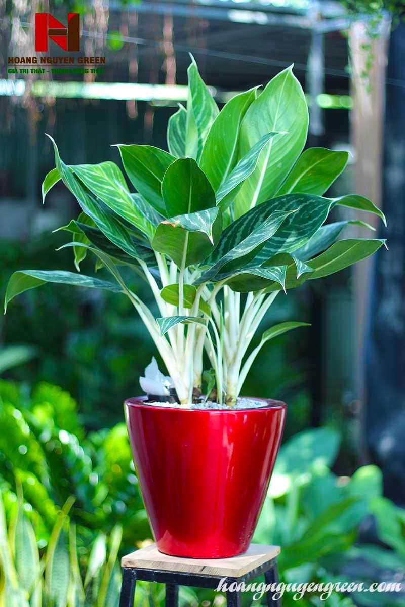 Cây Bạch Mã Hoàng Tử Chậu Sơn Tròn Bầu đỏ