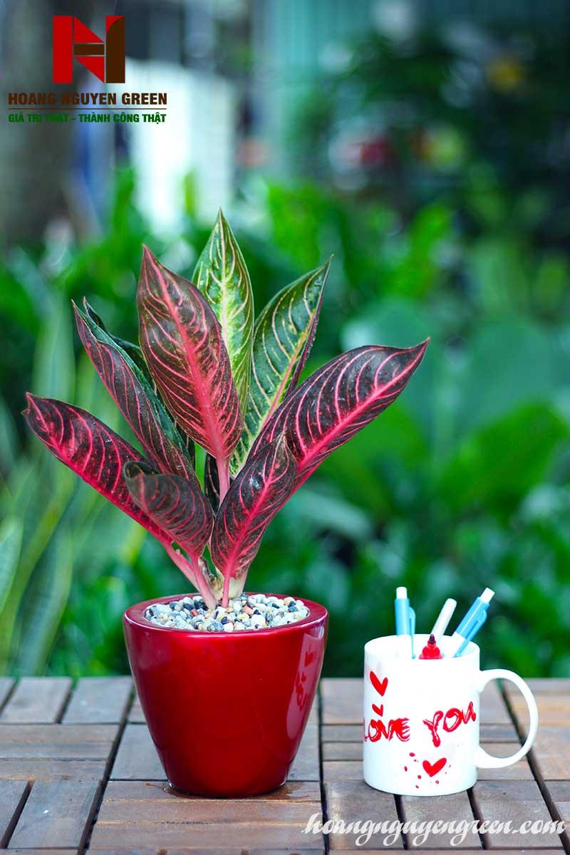 Cây Bao Thanh Thiên Chậu Sơn Tròn Bầu Đỏ