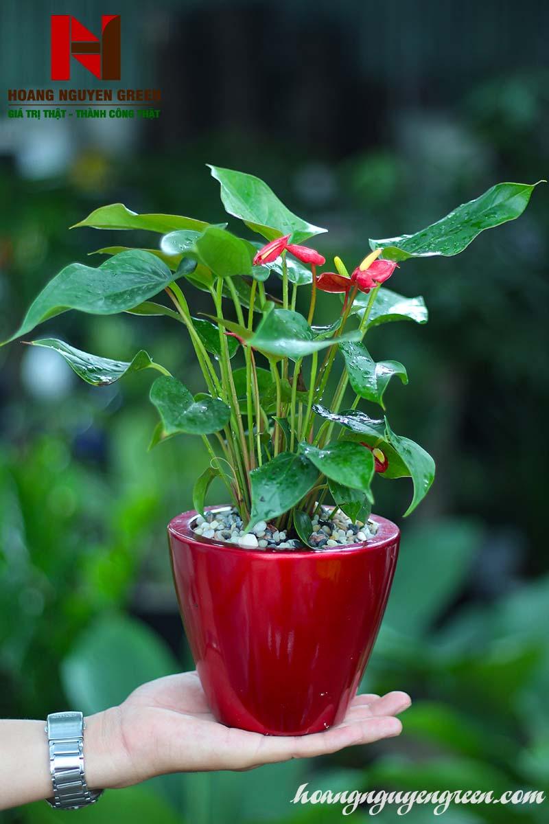 Cây Hồng Môn Chậu Sơn Tròn Bầu Đỏ
