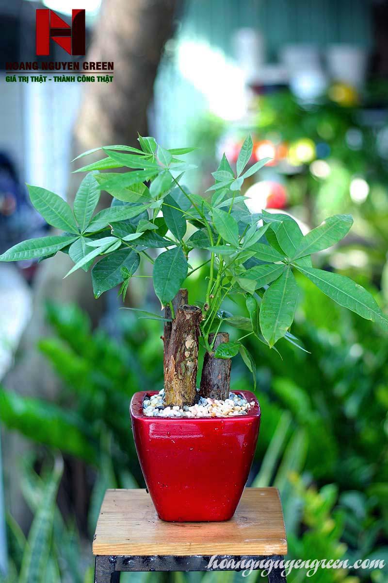 Cây Kim Ngân Chậu Sơn Vuông Đỏ